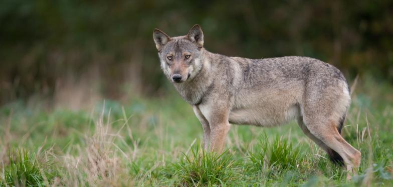 Des agneaux ont été tués par un loup